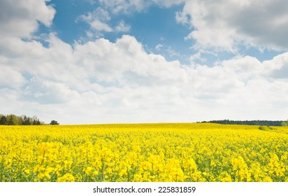 Yellow rapeseed field in sunny spring day