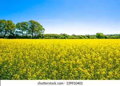 Yellow rapeseed field with trees in the background