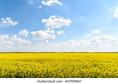 Yellow Rapeseed Flowers Field With Blue Sky