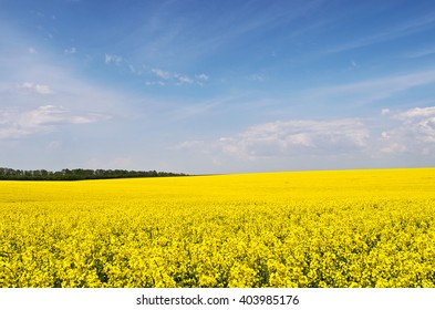 Yellow rapeseed flowers on field with blue sky and clouds before tree line against, Ukraine, copyspace.