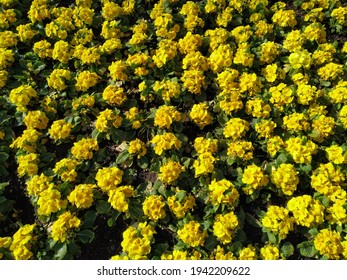 Yellow rapflowers eseed field background top view. Yellow canola agricultural field texture. Agricultural field aerial drone view. Rural landscape.
