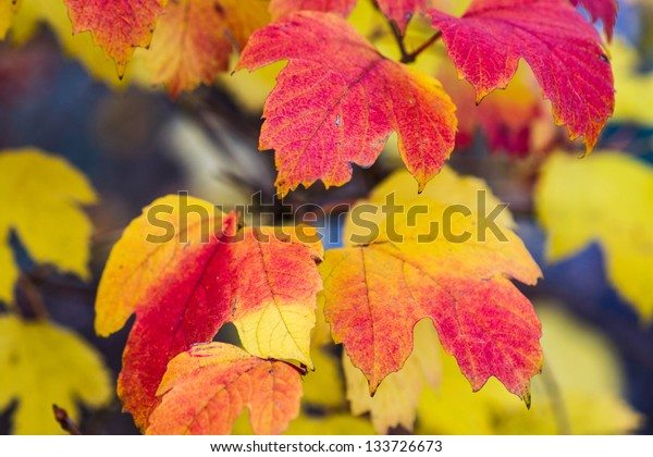 Yellow and red arrow-wood leaves against dark gray background