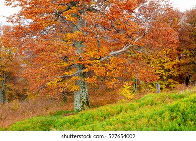 Yellow and red beech forests on the slopes of the Carpathians in the golden autumn season.