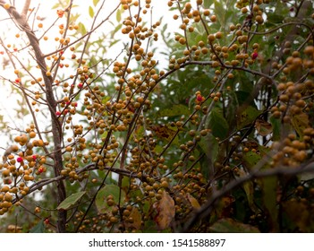 Yellow and red berries on a bittersweet vine in autumn