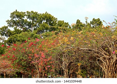 yellow red Bougainvillea grow on canopy frame
