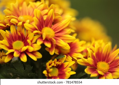 The Yellow Red Chrysanthemum Flower blooming in The Garden