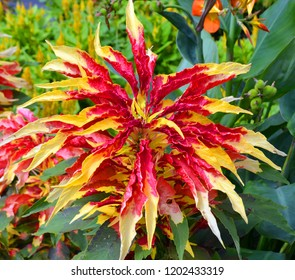 Yellow and red coleus. Background with lush multicolored coleus plant carpet in the garden.
