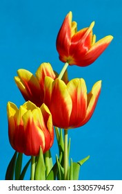 Yellow and red colored tulips in a blue background
