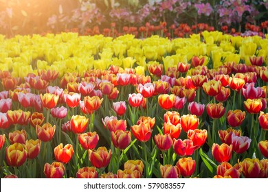Yellow and red colorful tulips with light sun.