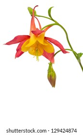 yellow and red columbines isolated on white