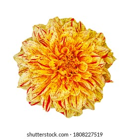 Yellow red dahlia flower isolated on white. Painted Madam is a new and unusual bi-colour decorative Dahlia. Beauty yellow-orange blooms with red marking