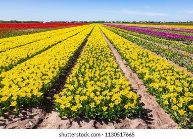 Yellow and red Dutch tulips flowers field with a blue sky during Spring season in Drenthe, the Netherlands