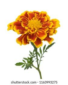 yellow red flower isolated on white