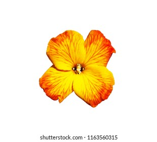 Yellow red flower of Wallflower isolated on white