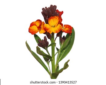 Yellow red flower of Wallflower, isolated on white background