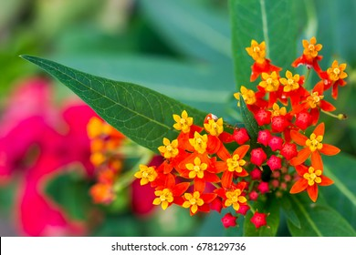 Yellow and red flowers,Asclepias curassavica,Apocynaceae.