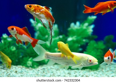 Yellow and Red Goldfish Swimming In Aquarium