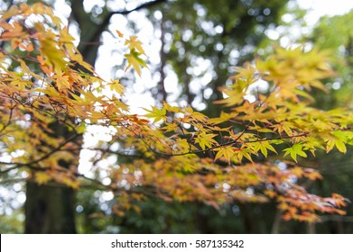 Yellow and red Japanese maple leaves during autumn at Sekizan Zen-in Temple in Kyoto, Japan
