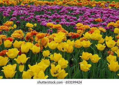 Yellow, red and magenta tulip flowers closeup