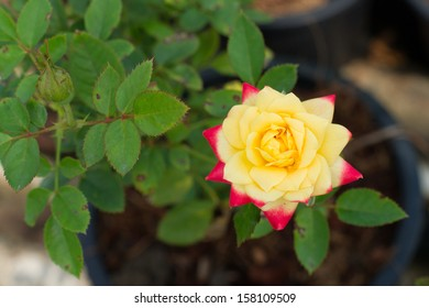 A yellow red rose in the garden