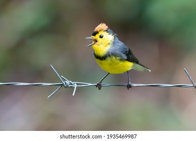 Yellow and red songbird Collared Redstart, Myioborus torquatus, sitting on the big leave in Savegre, Costa Rica