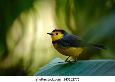 Yellow and red songbird Collared Redstart, Myioborus torquatus, sitting on the big leave in Savegre, Costa Rica.