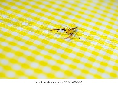 Yellow red translucent small spider on yellow caro table cloth, Bohol, Philippines