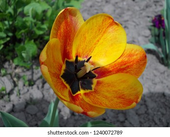 Yellow and red Tulip at flowerbed in Pohrebyshche town, Vinnytsia reg., Ukraine.