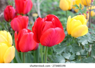 Yellow and red tulip flowers emerging on a blurry ornamental ordinary garden scene background for spring postcards