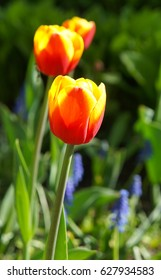 Yellow and red tulip flowers with green