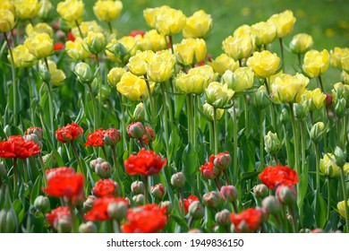 Yellow and red tulips and burgeons growing on the lawn.
