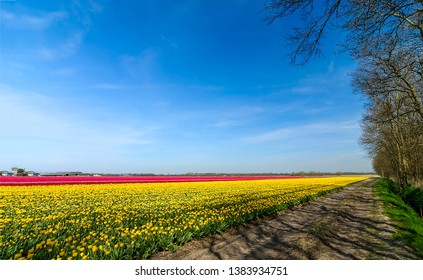 Yellow red tulips field road landscape. Tulip fields road in Holland. Tulip fields road in Netherlands. Yellow tulip field road view