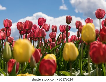 Yellow and red tulips fight for your attention and for sunlight