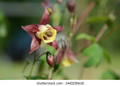 yellow red western columbine (aquilegia formosa) flower in green garden blurred background