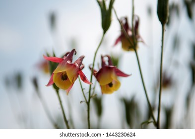 yellow red western columbine (aquilegia formosa) flowers in blue blurred background