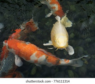 Yellow and reddish orange koi fish swimming in darkened water