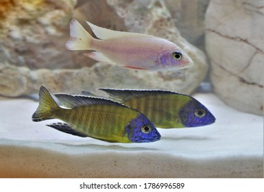 yellow regal peacock (Nkhomo-benga peacock) are swimming in freshwater aquarium. Aulonocara baenschi is a species of haplochromine cichlid, freshwater fish endemic to Lake Malawi.