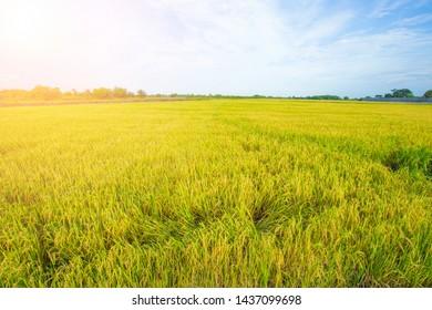 Yellow rice field landscape background
