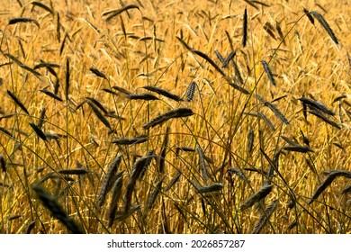 Yellow, ripe ears of grain in the field.