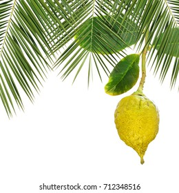 Yellow ripe etrog. Symbol for Sukkot or Succot Jewish religious holiday  - Feast of Tabernacles. Citron fruit and palm leaves for sukkah. Isolated on white