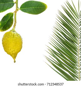 Yellow ripe etrog. Symbol for Sukkot or Succot Jewish religious holiday  - Feast of Tabernacles. Citron fruit and palm leaf for sukkah. Isolated on white