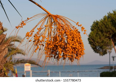 yellow Ripe fruits dates swaying to the wind on date palm on the blue sky background dates fruit on the palm tree photo