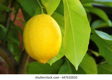 Yellow ripe lemon