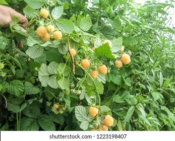 yellow ripe raspberry grows in the garden