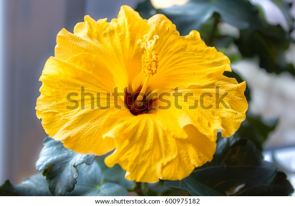 yellow Rosa chinensis , China, Chinese, hibiscus in a pot