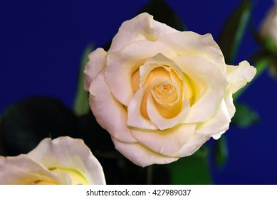 Yellow rose against a royal blue background with two secondary roses.