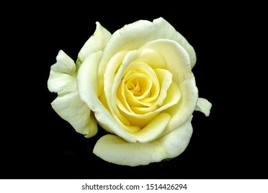 The yellow  rose in black background