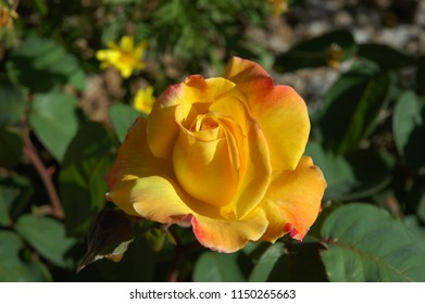 yellow rose in bloom, Costa Blanca, Spain