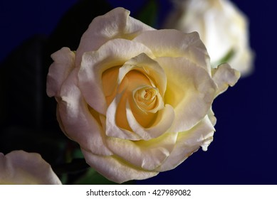 Yellow rose in bright light against a royal blue background with a second rose.