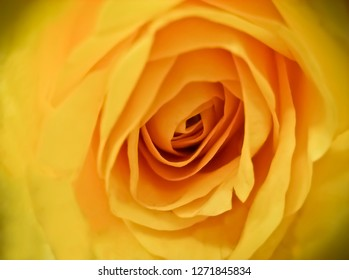 Yellow Rose Close Up of Flower